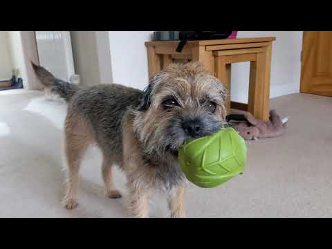 Border Terrier and the Ball Video