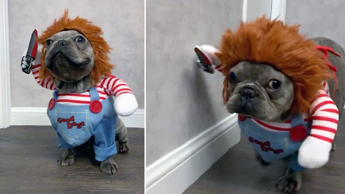 French Bulldog Puppy Dressed As Chucky video