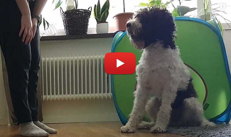petrage barbet dog excited for breakfast video